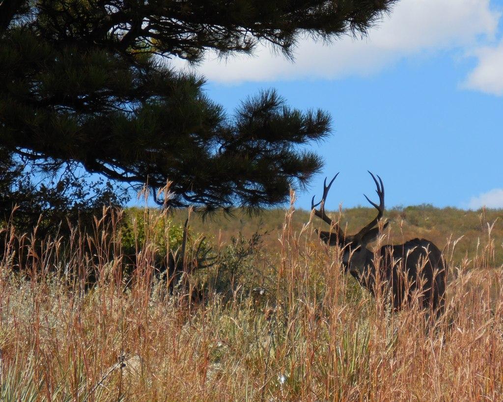 Rabbit Mountain mule deer
